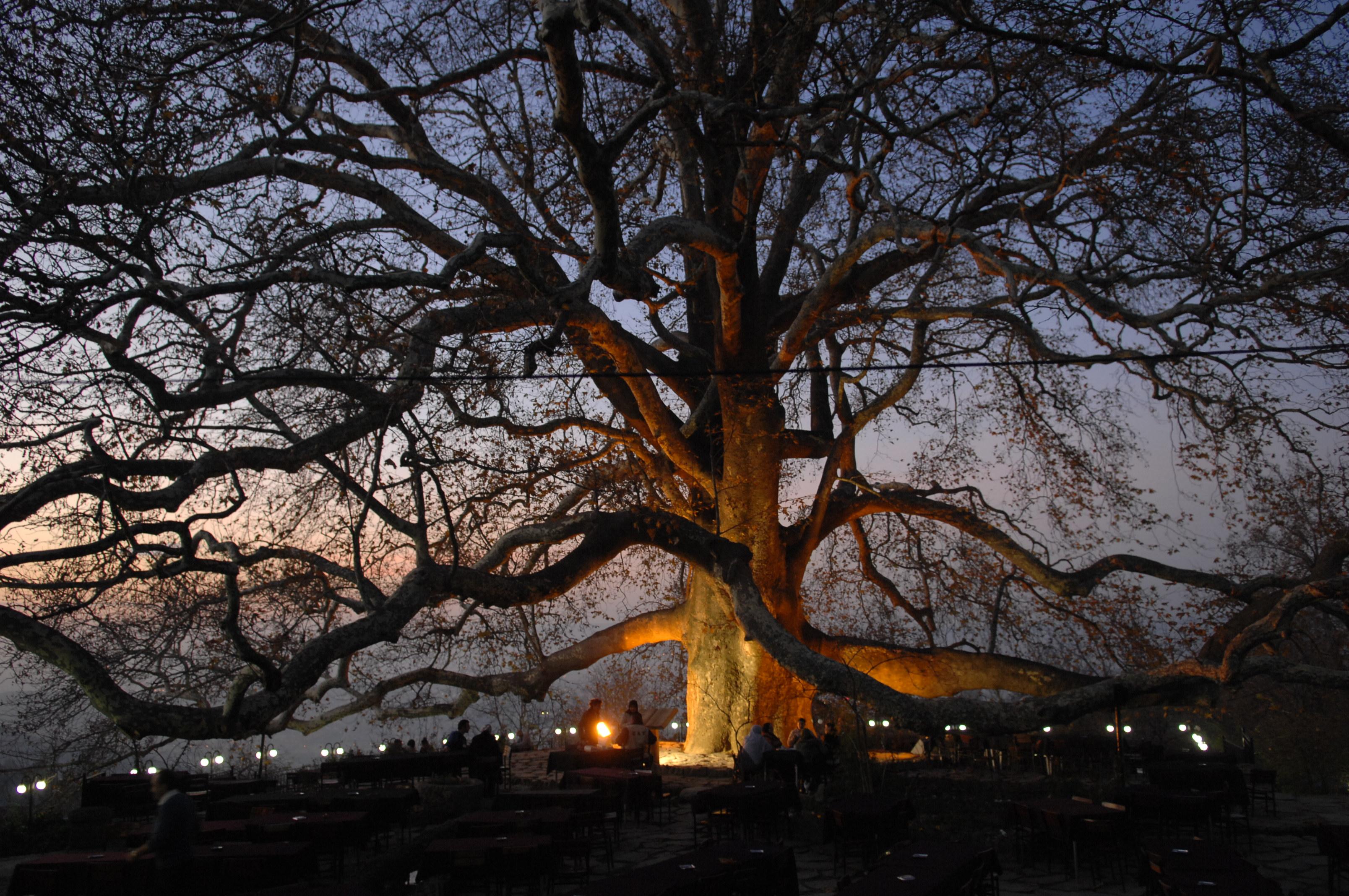 İnkaya Historical Plane Tree
